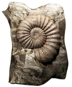 アンモナイトの化石の写真素材 [FYI00124298]