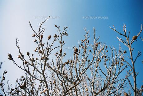 木の芽の写真素材 [FYI00124473]