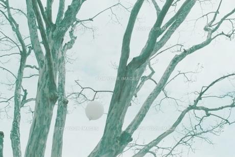 風船 木 樹の写真素材 [FYI00124514]