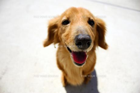 愛犬の写真素材 [FYI00124539]