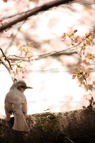 桜の木と鳥の素材 [FYI00124568]