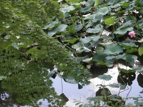 緑の紅葉と蓮池の写真素材 [FYI00124615]