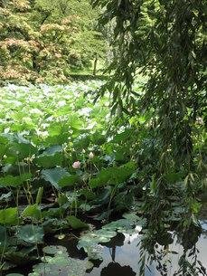 蓮池と木々の写真素材 [FYI00124617]