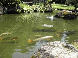 鯉の池の写真素材 [FYI00124620]