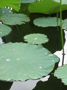 池に映る蓮の葉の写真素材 [FYI00124622]