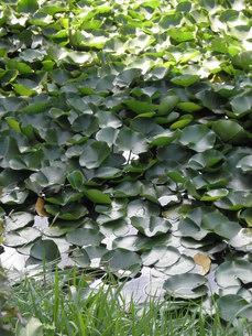 蓮の葉の写真素材 [FYI00124625]