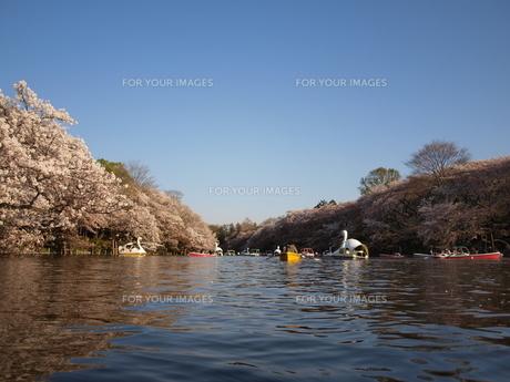 桜とボートと空をカメラでの写真素材 [FYI00124706]