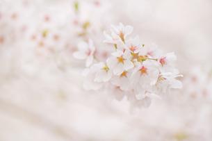 桜花の写真素材 [FYI00124715]