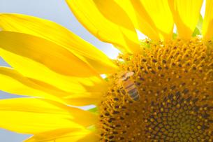 ヒマワリの花にミツバチの写真素材 [FYI00124718]
