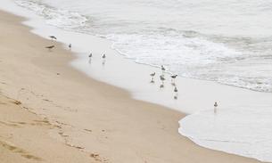 ハマシギの群れがなごむ砂浜の写真素材 [FYI00124719]