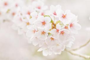 桜花の写真素材 [FYI00124724]