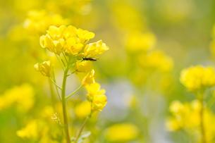 黄色い菜の花の写真素材 [FYI00124726]