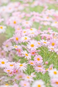 ピンクのマーガレット畑の写真素材 [FYI00124733]