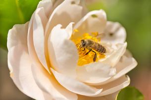 ツバキの花に蜜蜂の写真素材 [FYI00124742]