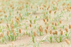砂丘に広がる奇妙な植物コウボウムギの素材 [FYI00124781]