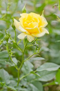 黄色いバラ一輪の写真素材 [FYI00124794]
