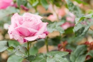やつれたピンクの薔薇の写真素材 [FYI00124798]