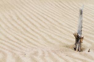 砂丘の木の生き残りの写真素材 [FYI00124803]