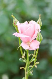 ピンクの薔薇の写真素材 [FYI00124811]