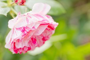 紅白薔薇の写真素材 [FYI00124812]