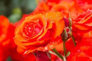 雨上がりの水滴赤いバラの写真素材 [FYI00124815]