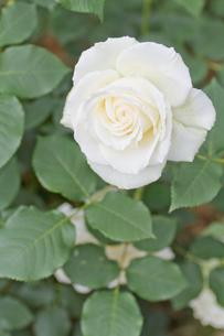 白バラの写真素材 [FYI00124820]