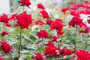 赤いバラの花壇の写真素材 [FYI00124821]