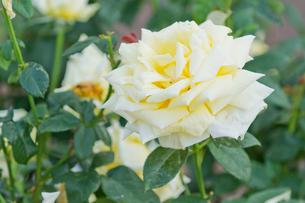 薄い黄色のバラの写真素材 [FYI00124822]