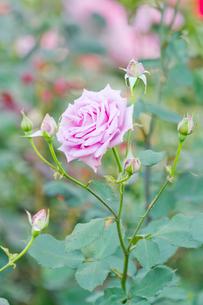 紫色のバラの写真素材 [FYI00124827]