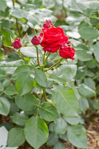 赤いバラの写真素材 [FYI00124829]