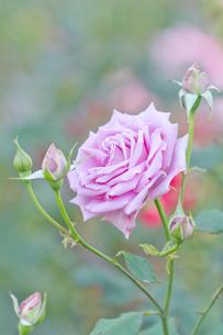 紫色のバラの写真素材 [FYI00124834]