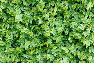 庭園の緑の葉の写真素材 [FYI00124836]
