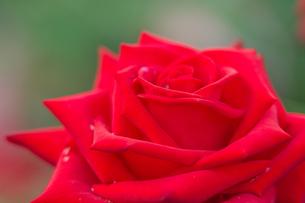 赤いバラのアップの写真素材 [FYI00124837]
