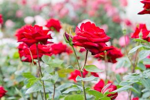 赤いバラの花壇の写真素材 [FYI00124845]