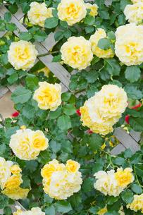 黄色のバラの壁の写真素材 [FYI00124846]