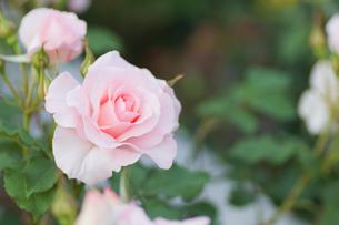 ピンクの薔薇の写真素材 [FYI00124850]