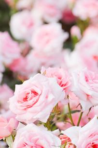 ピンクの薔薇の写真素材 [FYI00124851]