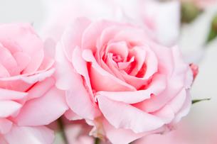 ピンクのバラのアップの写真素材 [FYI00124852]