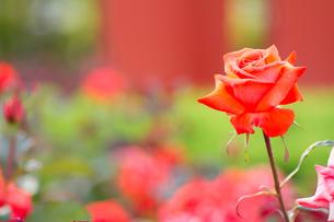 赤いバラと庭の写真素材 [FYI00124854]