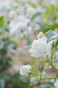 白いバラと春の日差しの写真素材 [FYI00124855]