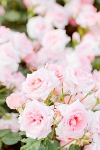 たくさんのピンクの薔薇の花の写真素材 [FYI00124857]