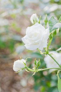 白いバラの写真素材 [FYI00124858]