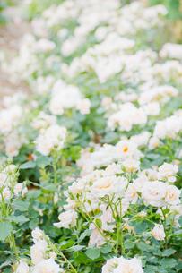白いバラの写真素材 [FYI00124859]