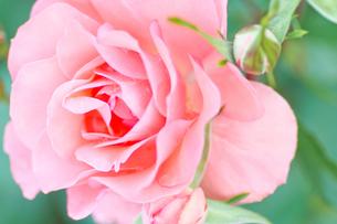 ピンクの薔薇の写真素材 [FYI00124860]