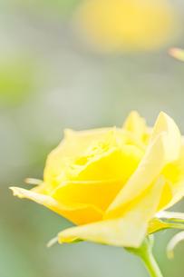 薔薇イエローシンプリシティの写真素材 [FYI00124861]