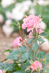 ピンクの薔薇と葉の写真素材 [FYI00124862]