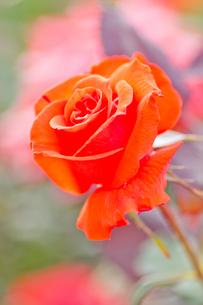 赤いバラのアップの写真素材 [FYI00124863]