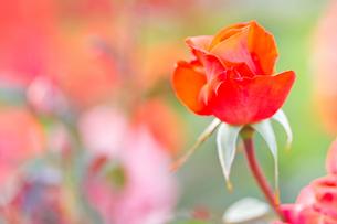 赤いバラの写真素材 [FYI00124867]