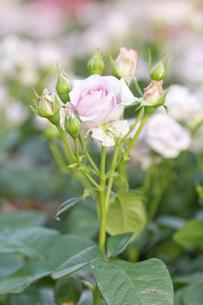 薄紫色の薔薇の写真素材 [FYI00124869]