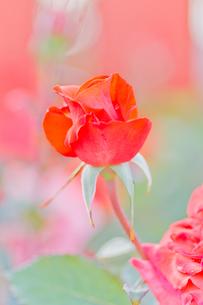 赤いバラの写真素材 [FYI00124876]